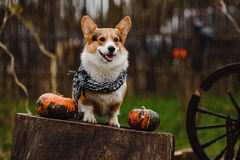 Το σκυλί Corgi Στοκ Φωτογραφίες