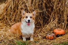 Το σκυλί Corgi Στοκ Εικόνες