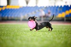Το σκυλί Dachshund φέρνει τον πετώντας δίσκο Στοκ Φωτογραφία