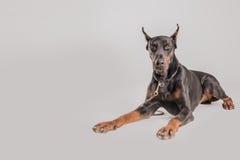 Το σκυλί Doberman μοιάζει με το λιοντάρι και να φανεί άφοβο Στοκ εικόνα με δικαίωμα ελεύθερης χρήσης