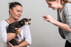 Το σκυλί Pinscher υπερασπίζει τον ιδιοκτήτη στοκ εικόνα με δικαίωμα ελεύθερης χρήσης
