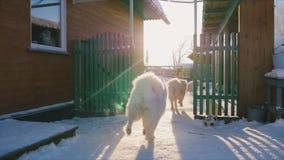 Το σκυλί Samoyed πιάνει τη σφαίρα απόθεμα βίντεο