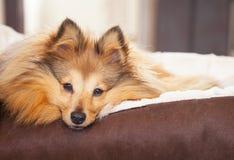 Το σκυλί Shelty βρίσκεται στο καλάθι σκυλιών Στοκ φωτογραφία με δικαίωμα ελεύθερης χρήσης