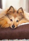 Το σκυλί Shelty βρίσκεται στο καλάθι σκυλιών Στοκ εικόνα με δικαίωμα ελεύθερης χρήσης