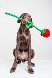 Το σκυλί Vizsla με το κόκκινο αυξήθηκε Στοκ Φωτογραφίες