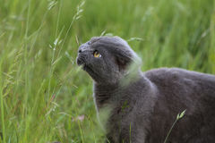Το σκωτσέζικο γατάκι πτυχών δαγκώνει τη χλόη Στοκ Φωτογραφία