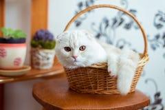 Το σκωτσέζικο γατάκι πτυχών κάθεται στο ψάθινο καλάθι στο δωμάτιο στοκ εικόνα με δικαίωμα ελεύθερης χρήσης