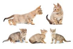 Το σκωτσέζικο ευθύ έμβλημα κολάζ πέντε γατακιών με το διάστημα αντιγράφων με τη θέση για το κείμενο στο λευκό απομόνωσε το υπόβαθ Στοκ Εικόνα