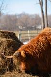 Το σκωτσέζικο κεφάλι βοοειδών στο ανάχωμα σανού, κέρατα καλύπτεται στο σανό Στοκ φωτογραφία με δικαίωμα ελεύθερης χρήσης