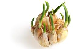 το σκόρδο βλασταίνει Στοκ φωτογραφίες με δικαίωμα ελεύθερης χρήσης