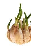 το σκόρδο βλασταίνει Στοκ Φωτογραφίες