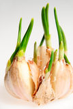 το σκόρδο βλασταίνει Στοκ Φωτογραφία