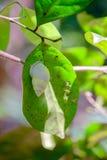 Το σμαραγδένιο πράσινο Sanail στοκ φωτογραφίες