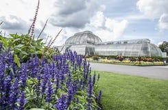 Το σπίτι θερμοκρασίας, οι ουρανοί και τα ιώδη λουλούδια, Kew καλλιεργούν στοκ εικόνες με δικαίωμα ελεύθερης χρήσης