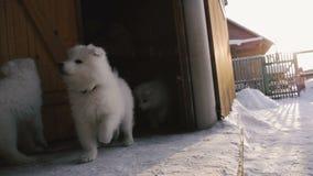 Το σπίτι τρέχει έξω τα κουτάβια Samoyed φιλμ μικρού μήκους