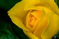 Το σπινθήρισμα και λάμπει οφθαλμός Yellow Rose Στοκ φωτογραφία με δικαίωμα ελεύθερης χρήσης