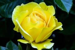 Το σπινθήρισμα και λάμπει Yellow Rose Στοκ εικόνα με δικαίωμα ελεύθερης χρήσης