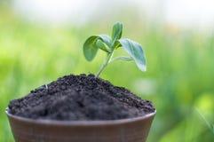 Το σπορόφυτο αυξάνεται από το πλούσιο χώμα στο φως του ήλιου πρωινού που λάμπει, έννοια οικολογίας Στοκ Φωτογραφίες