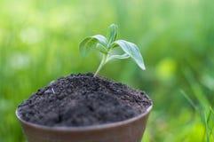 Το σπορόφυτο αυξάνεται από το πλούσιο χώμα στο φως του ήλιου πρωινού που λάμπει, έννοια οικολογίας Στοκ φωτογραφία με δικαίωμα ελεύθερης χρήσης