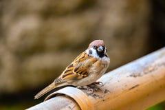 Το σπουργίτι πουλιών Στοκ Εικόνες
