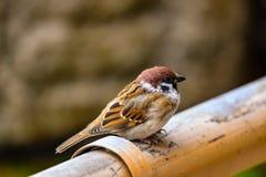 Το σπουργίτι πουλιών Στοκ φωτογραφίες με δικαίωμα ελεύθερης χρήσης