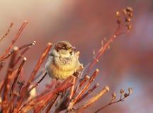 Το σπουργίτι πουλιών κάθεται μεταξύ των κλάδων που λούζονται στον ήλιο Στοκ Εικόνες