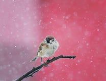 Το σπουργίτι πουλιών κάθεται σε έναν κλάδο στο χιόνι στο πάρκο στο χειμώνα Στοκ εικόνες με δικαίωμα ελεύθερης χρήσης