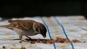 Το σπουργίτι τρώει τα δημητριακά απόθεμα βίντεο
