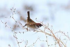 Το σπουργίτι τρώει χειμερινό wormwood Στοκ Φωτογραφίες