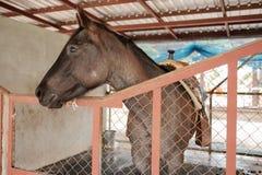 Το στάσιμο άλογο στο σταύλο αισθάνεται δυστυχισμένο και καμία ελευθερία Στοκ Φωτογραφία
