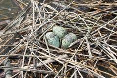 το στέρνα αυγών Στοκ φωτογραφία με δικαίωμα ελεύθερης χρήσης