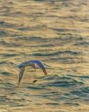 Το στέρνα θάλασσας χάνει το γεύμα του στοκ φωτογραφία με δικαίωμα ελεύθερης χρήσης