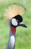 Το στεμμένο πουλί γερανών κοιτάζει Στοκ Φωτογραφίες