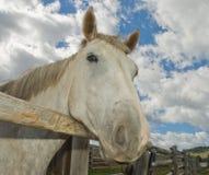 το στενό γκρι φραγών κλείνει το τηλέφωνο το επικεφαλής άλογο πέρα από ξύλινο Στοκ Φωτογραφία