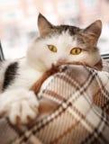 Το στενό επάνω πορτρέτο λ γατών βρέθηκε στο κρεβάτι Στοκ Φωτογραφία