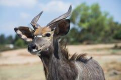 Το στενό επάνω πορτρέτο της μεγαλύτερης αντιλόπης kudu Στοκ εικόνα με δικαίωμα ελεύθερης χρήσης