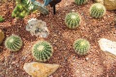 το στενό grusonii echinocactus κάκτων ξεχειλίζει την όψη Στοκ Εικόνες