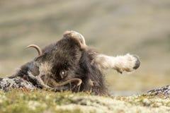 το στενό musk βόδι εμφανίζει να σταθεί επάνω Στοκ φωτογραφία με δικαίωμα ελεύθερης χρήσης