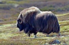 το στενό musk βόδι εμφανίζει να σταθεί επάνω Στοκ Φωτογραφία