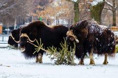 το στενό musk βόδι εμφανίζει να σταθεί επάνω Στοκ Εικόνα