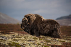 το στενό musk βόδι εμφανίζει να σταθεί επάνω Στοκ φωτογραφίες με δικαίωμα ελεύθερης χρήσης