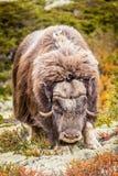 το στενό musk βόδι εμφανίζει να σταθεί επάνω Στοκ Φωτογραφίες