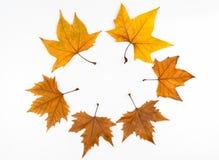 το στοιχείο σχεδίου φθινοπώρου βγάζει φύλλα το σφένδαμνο Στοκ Εικόνες