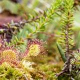 Το στρογγυλός-με φύλλα sundew rotundifolia Drosera είναι ένα σαρκοφάγο σχέδιο Στοκ εικόνες με δικαίωμα ελεύθερης χρήσης