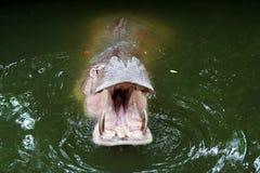 Το στόμα ενός Hippo Στοκ Εικόνες