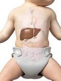 Το συκώτι ενός μωρού διανυσματική απεικόνιση