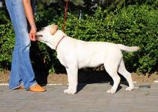 Το συμπαθητικό κίτρινο κουτάβι του Λαμπραντόρ που μαθαίνει για το σκυλί παρουσιάζει Στοκ φωτογραφία με δικαίωμα ελεύθερης χρήσης