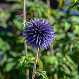 Το σφαιρικό κεφάλι λουλουδιών από τον κάρδο σφαιρών ritro Echinops, κλείνει στοκ φωτογραφίες
