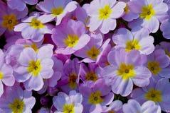 Το σχέδιο θερινού Primula λουλουδιών ανθίζει βοτανικής τη φωτεινή χρώματος πετάλων μαργαριτών ιώδη εγκαταστάσεων άσπρη χλωρίδα άν στοκ εικόνες με δικαίωμα ελεύθερης χρήσης