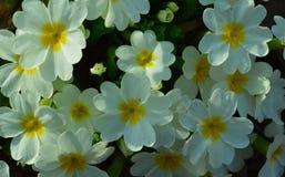 Το σχέδιο θερινού Primula λουλουδιών ανθίζει βοτανικής τη φωτεινή χρώματος πετάλων μαργαριτών ιώδη εγκαταστάσεων άσπρη χλωρίδα άν στοκ φωτογραφίες